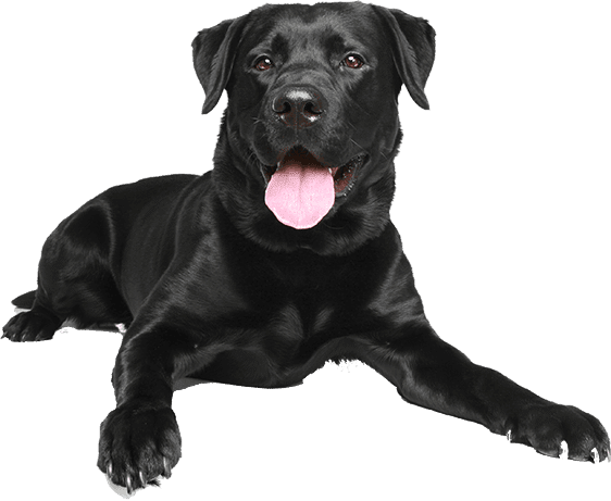 Raw Dog Food From Raw Made Simple Black Labrador